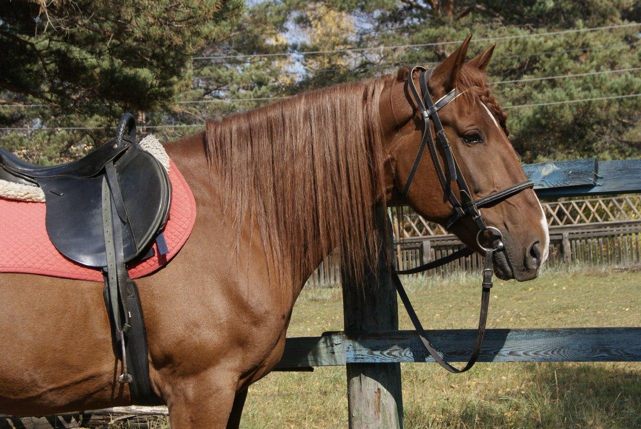 Гурмаша, очень спокойный и доброжелательно настроенный к людям конь.